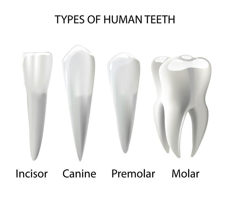 tipi di denti